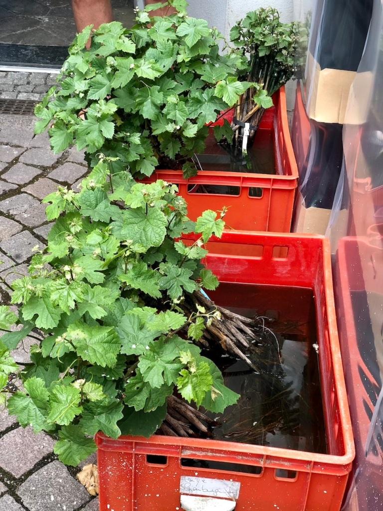 Nebbiolo-Pflanzen warten bei Winzer Martin Schwarz in Meißen auf ihre Pflanzung im benachbarten Weinberg.